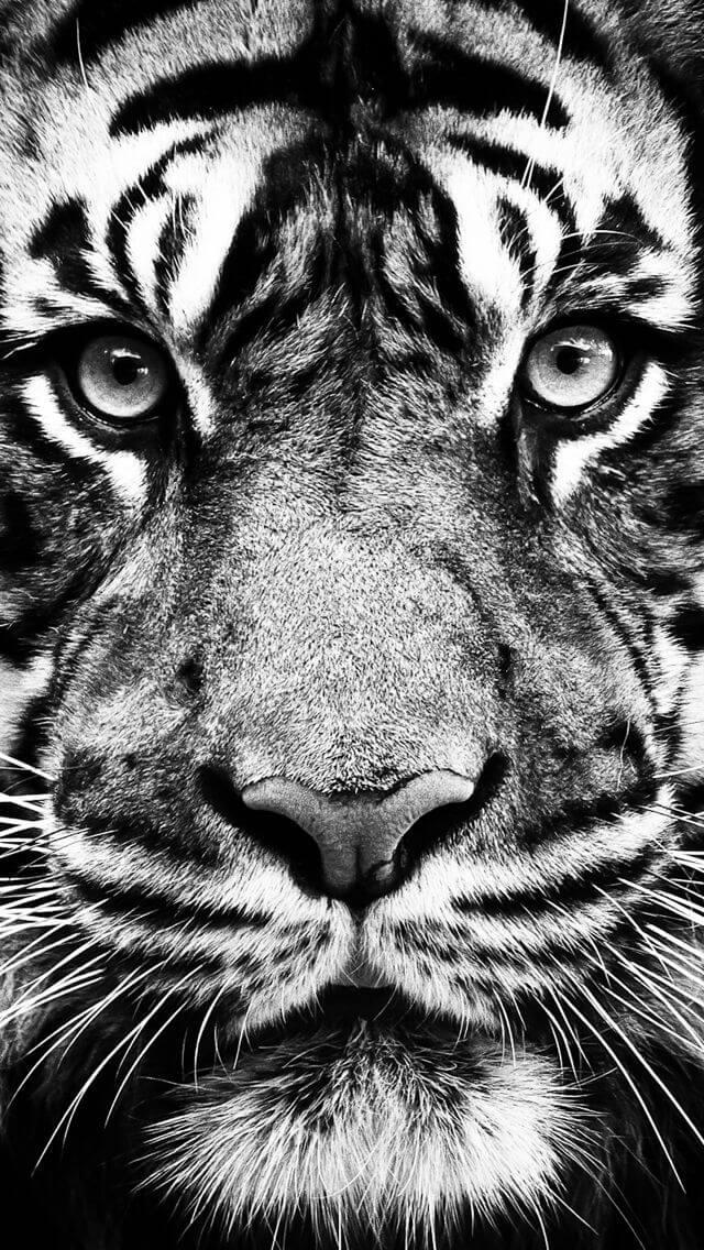 wallpaper iphone tiger: Trocar Papel De Parede Para Whatsapp